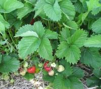 erdbeeren-7