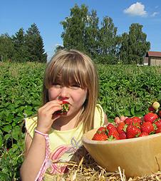 erdbeeren-naschen