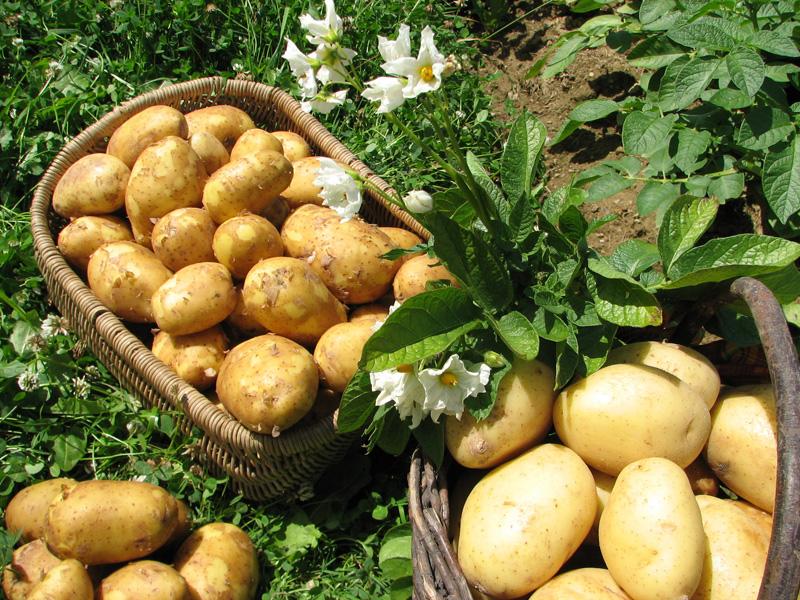 Kartoffeln Gospersgrüner Erdäpfelwochen