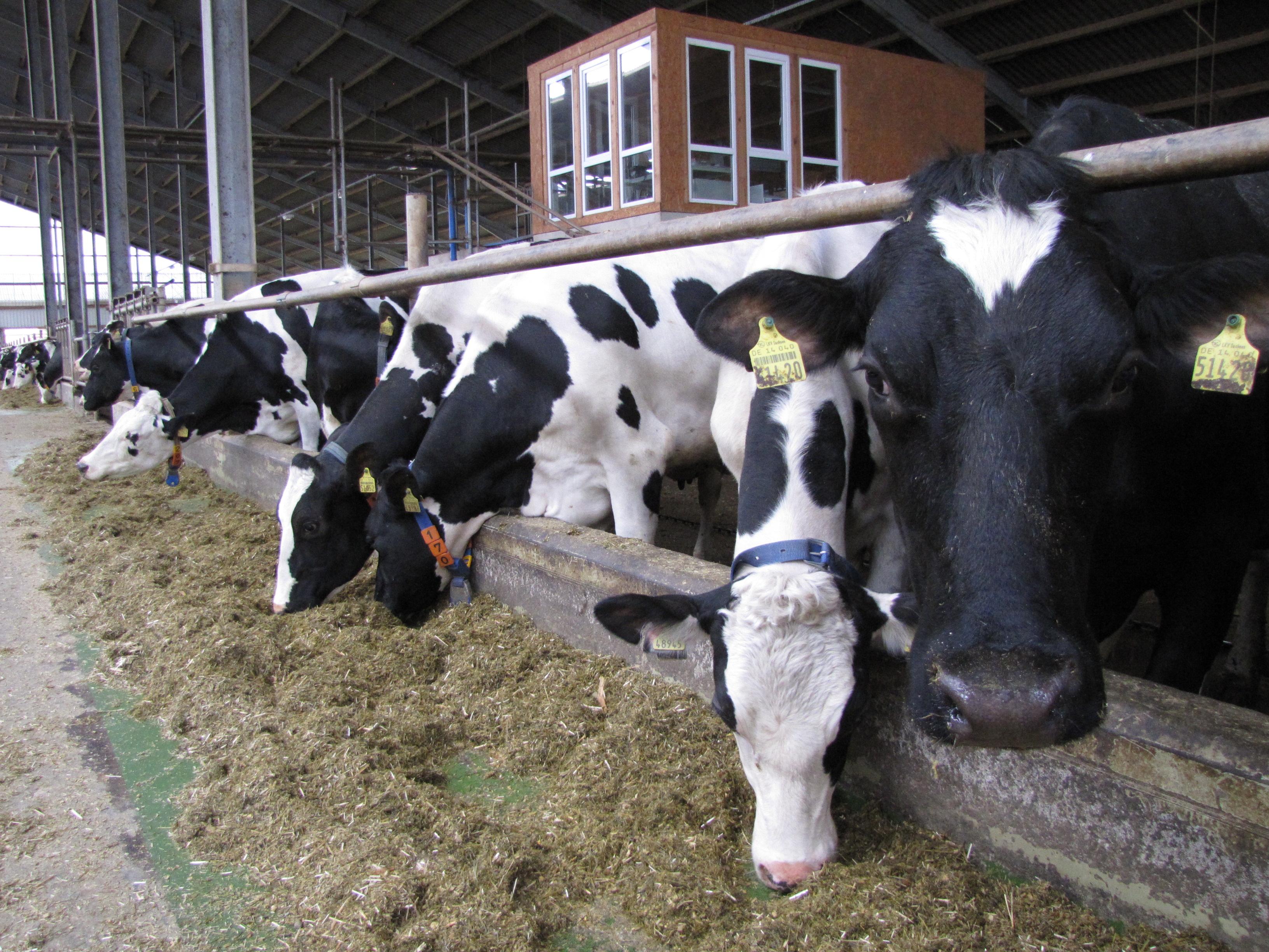 Kühe im Stall Fraureuth