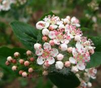 Aronia-Blütenstände