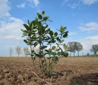 Die Pflanze der Aroniabeere