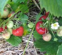 erdbeeren-2