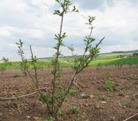Die Pflanze der Goji-Beere
