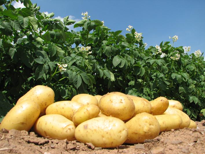 Frühkartoffeln aus Gospersgrün